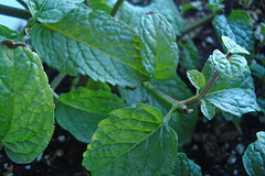 Reasons to Grow Mint