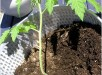 coffee-grounds-fretilizer-for-tomatoes-plant