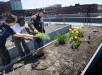 PORTLAND, MAINE -- 05/10/16 --  Laura Mailander (from left) and Nyaruot Nguany of Cultivating Community help resident Jimmy Makowiecki identify a weed in his rooftop garden plot at 409 Cumberland Ave. in Portland on Tuesday. Building residents each can get a 5-by-5-foot gardening space.  Troy R. Bennett | BDN