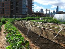 New_crops-Chicago_urban_farm-1