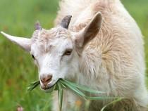 goat-1596880_960_720