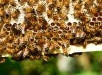 honey-bees-401238_960_720