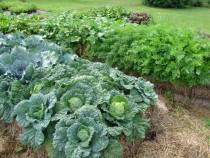Cabbage-anyone-550x413