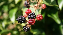 blackberry-200535_1280
