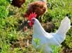 chicken-2804402_1280