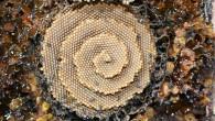 stingless-sugarbag-bees-1.jpg.860x0_q70_crop-scale