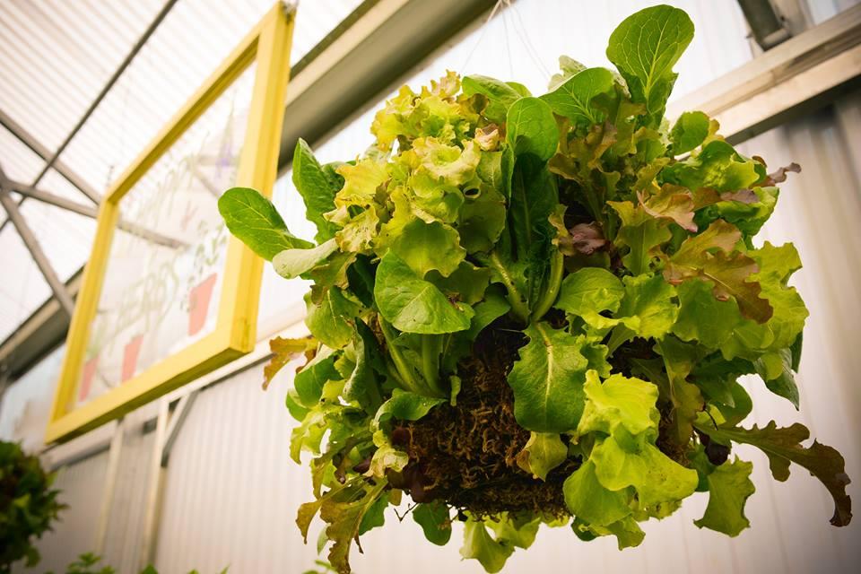 hanging lettuce basket urban organic