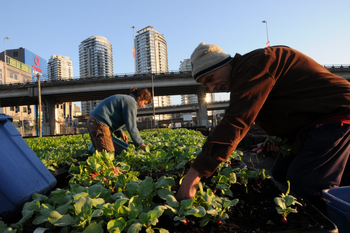 63-Early morning radish harvest