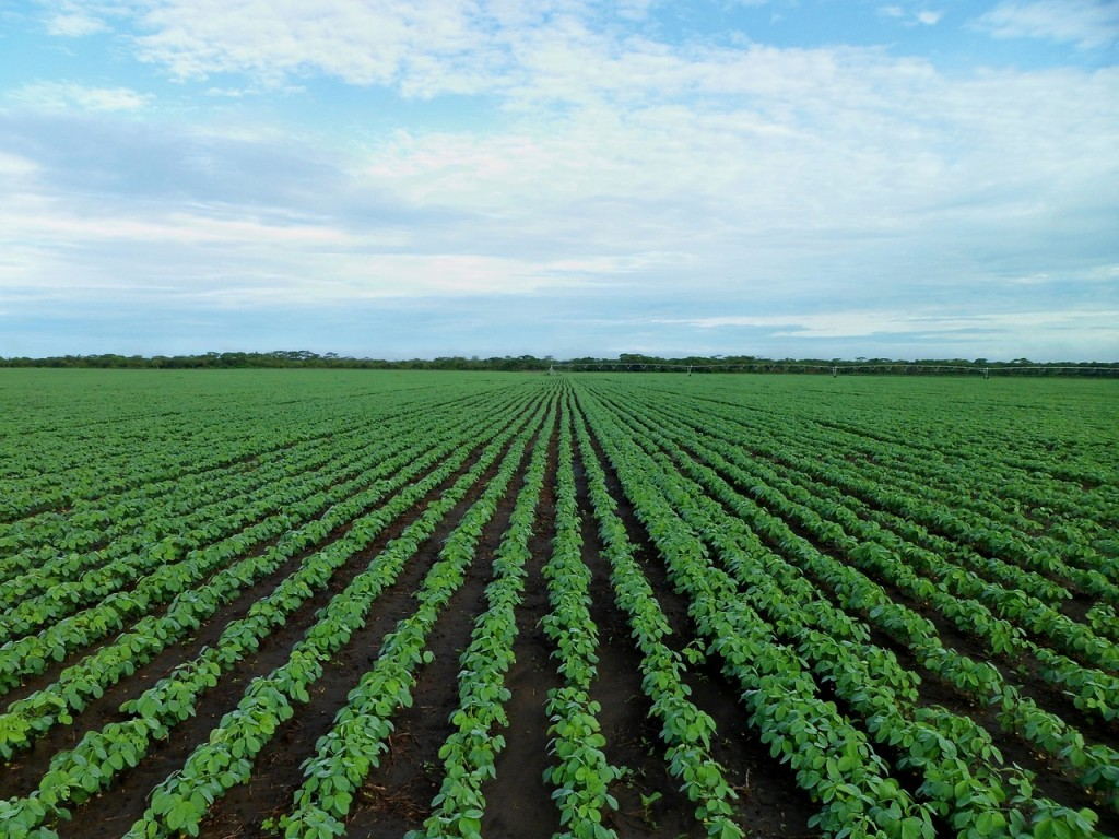 soybean-field-1610754_1280
