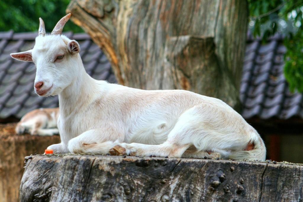 goat-208440_1280