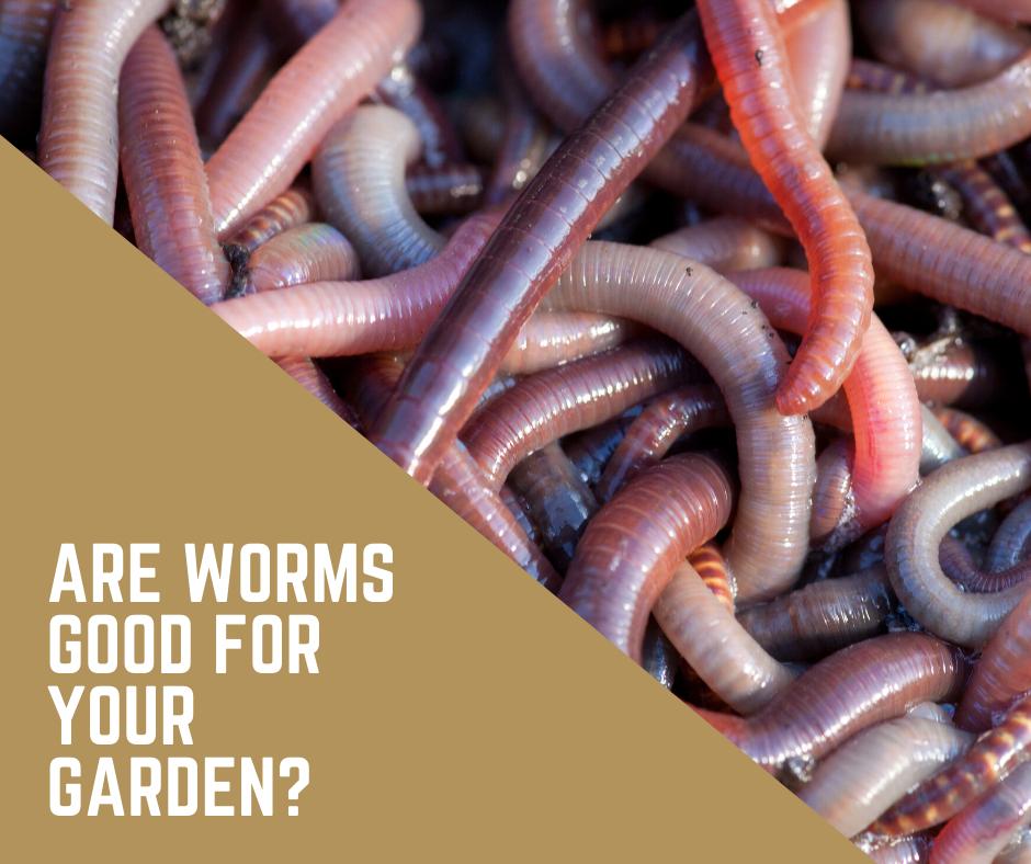 ¿Son los gusanos BUENOS o MALOS para un huerto?
